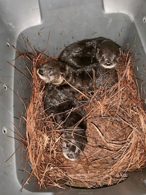 Found in three different locations in eastern North Carolina, the otters are being raised as a group at the Zoo to help ensure their survival after their release.