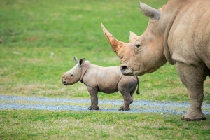 North Carolina Zoo announces name of baby rhino named by public poll