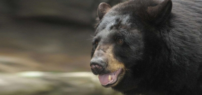 North Carolina Zoo's black bear Holly passes away
